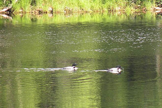 Kennebec Valley Trail Loons on the Kennebec River Quiet enough to hear their call