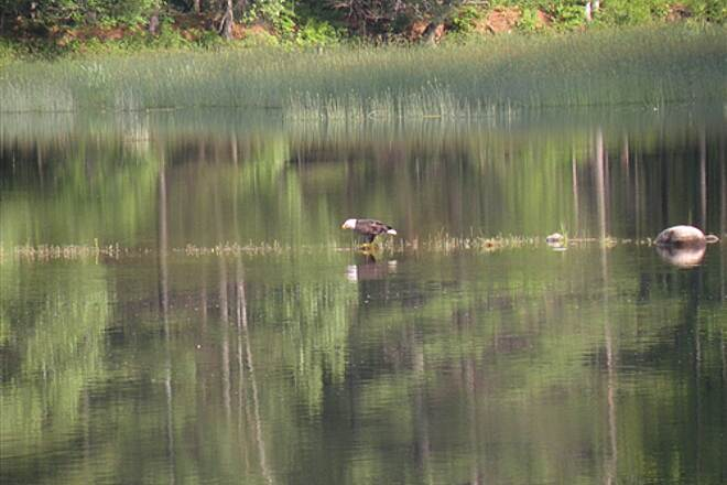Kennebec Valley Trail Bald Eagle on an island in the Kennebec River Peaceful Ride