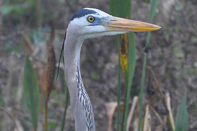 Lake Apopka Loop Trail Great Blue Heron Close up of  a great blue heron's head.