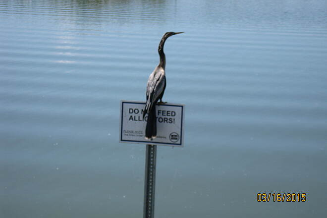 Lake Apopka Loop Trail Anhinga Anhinga ('snake bird') perched on a sign near the picnic shelter at mile marker 4.