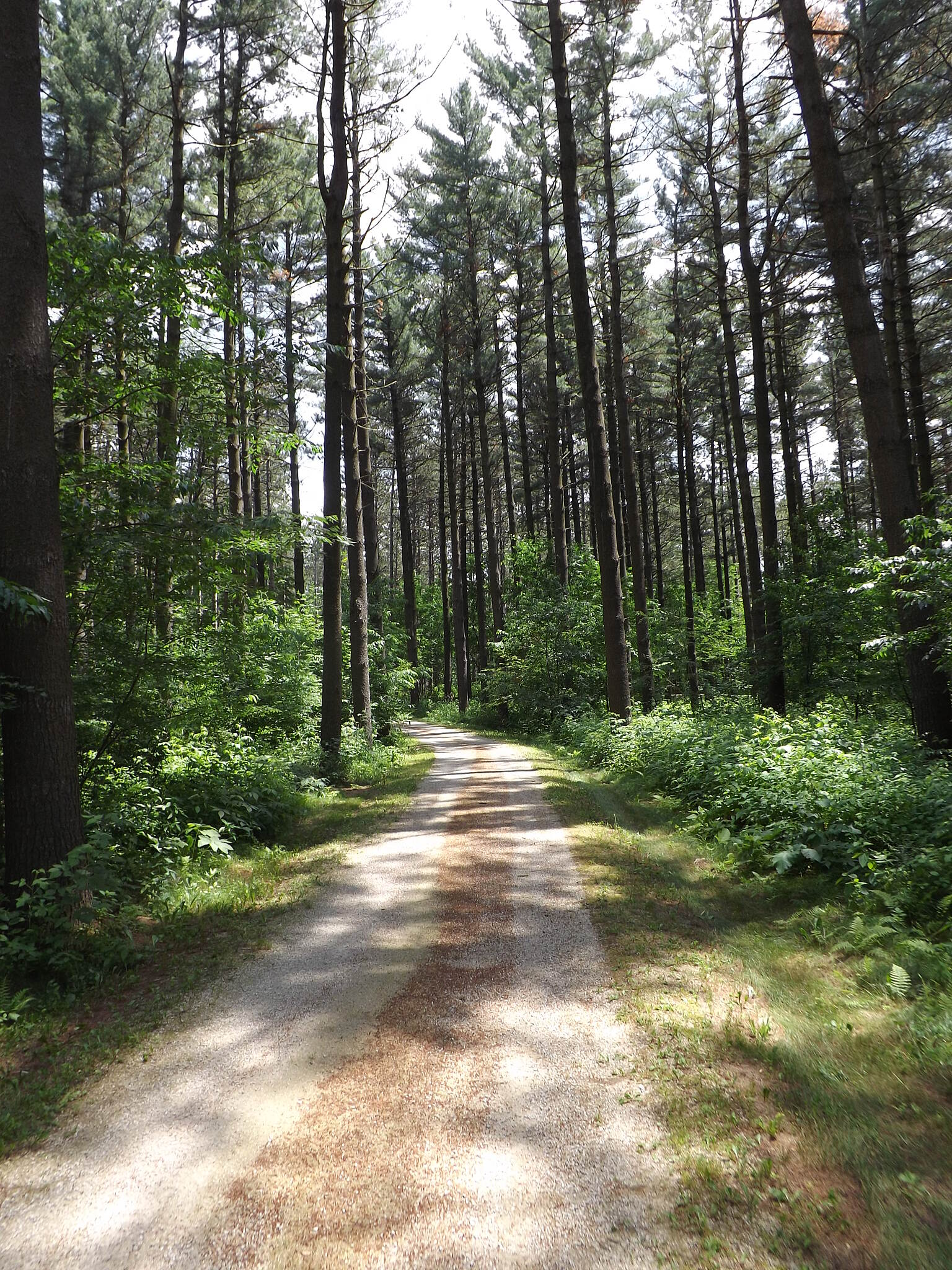 Lake to Lake Bike Trail (WI) Through Pine Forest As you approach Mauthe Lake, the trail passes through a pine forest.