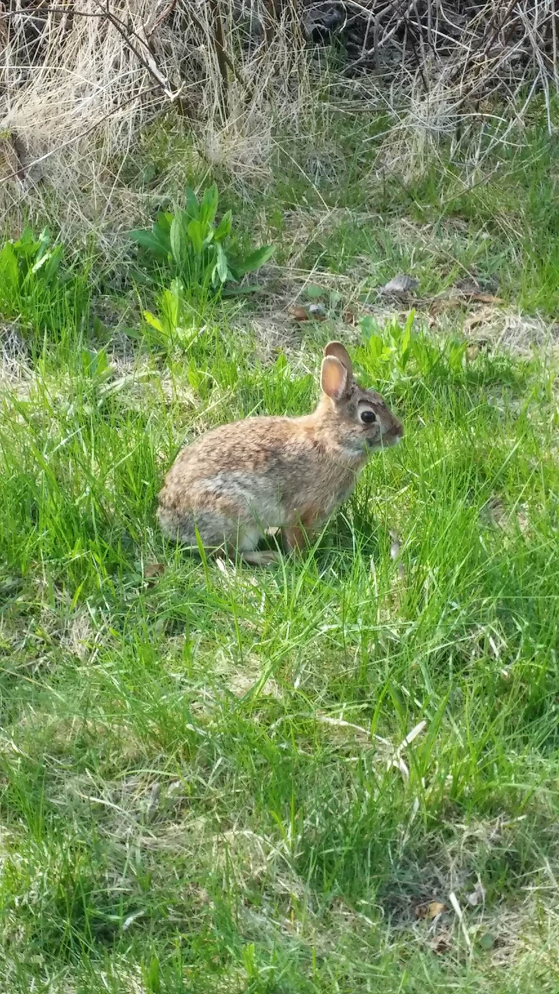 Lebanon Valley Rail-Trail Rabbit on the trail