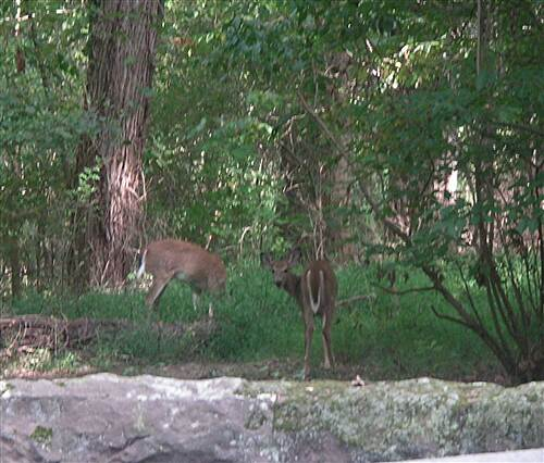 Lebanon Valley Rail-Trail Deer near Mt. Gretna