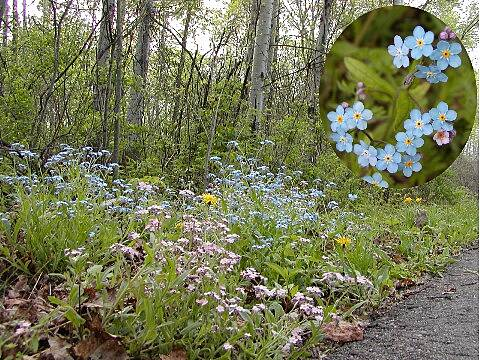 Leelanau Trail Forget Me Not True 'Forget Me Nots' are just one of the many wildflowers along the trail.