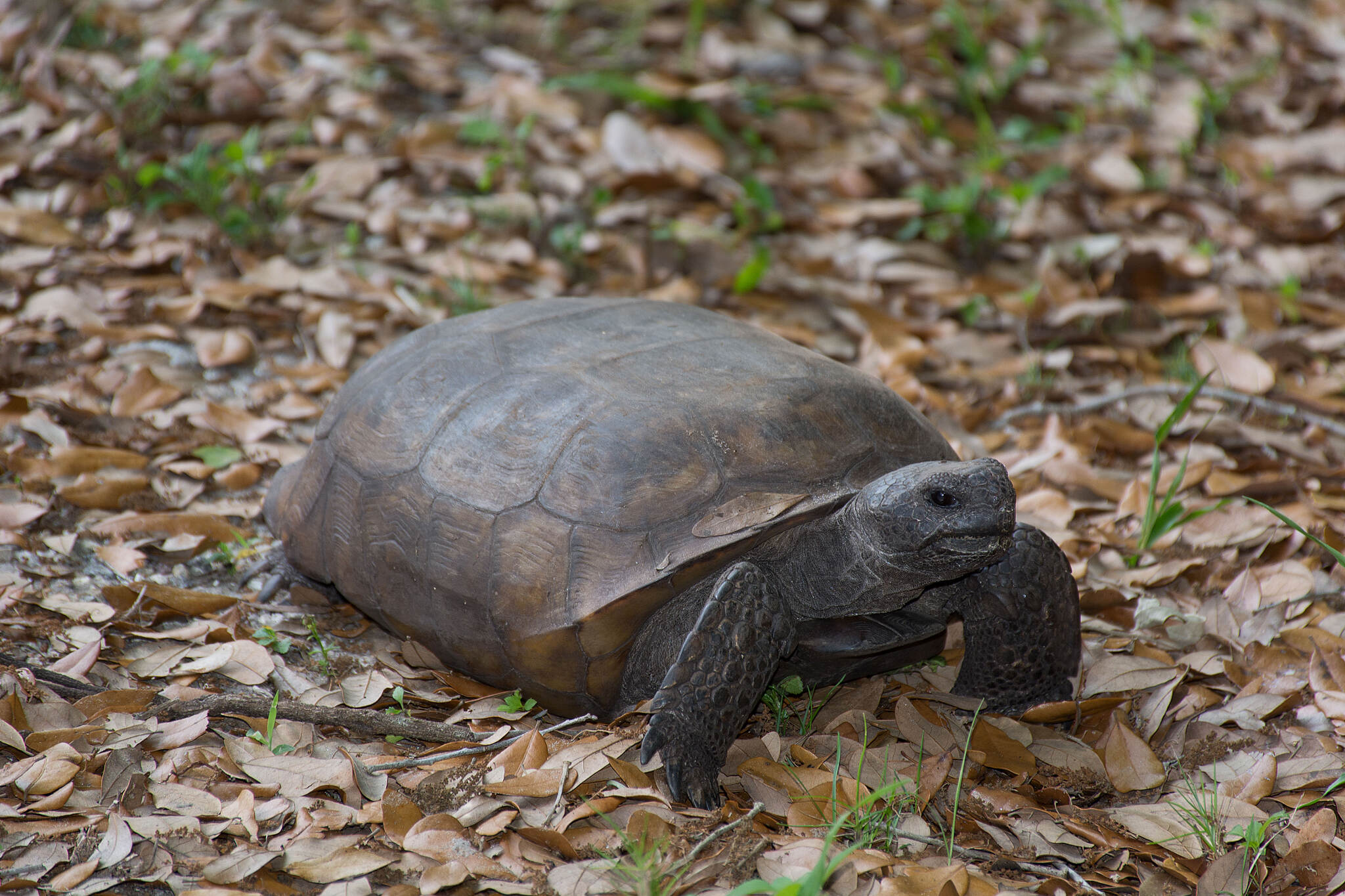 Legacy Trail (FL) Gopher Tortoise Walking along next to trail asphalt