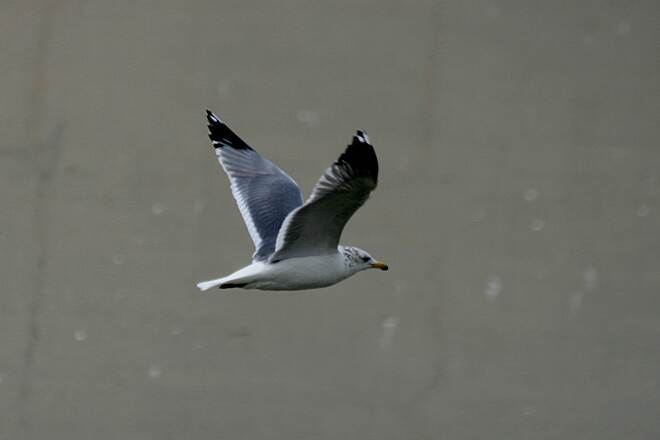Los Angeles River Trail Gull