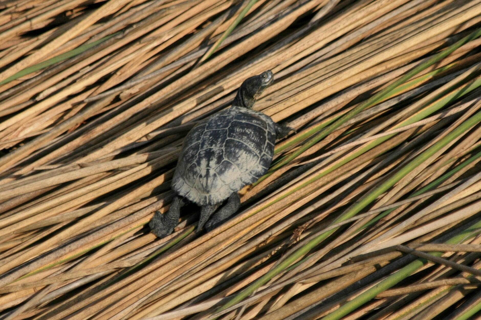 Los Angeles River Trail Turtle in the wetlands
