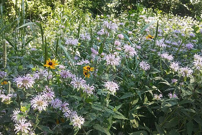 Luce Line Trail Wildflowers Along the Luce Line Trail Check out the beautiful Monarda and Rudbeckia growing along the Luce Line Trail!