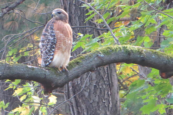 Maple Highlands Trail Red shouldered hawk Pretty sure this is a Red shouldered hawk along the trail.