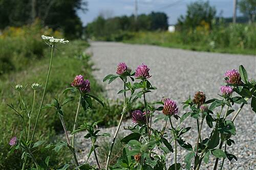 Missisquoi Valley Rail-Trail  Red clover, the state flower of Vermont.