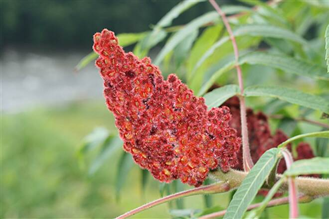 Missisquoi Valley Rail-Trail  A sumac plant, a common resident along much of the trail.