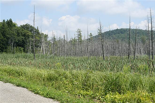 Missisquoi Valley Rail-Trail  Dead trees in a marshy area between Sheldon and St. Albans.