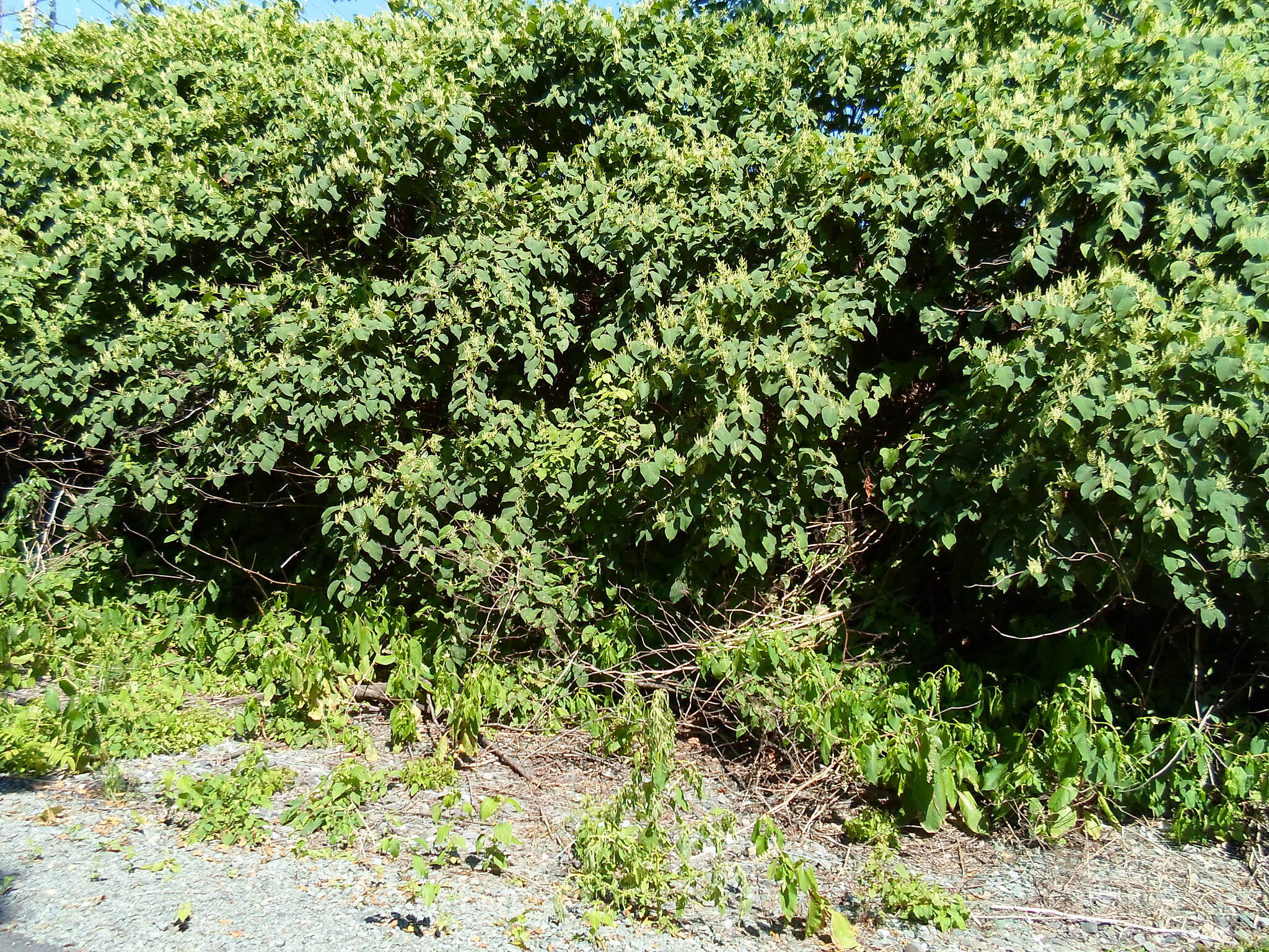 Muhlenberg Rail Trail Muhlenberg Rail Trail I'm not good with identifying plants, so I'm not sure what this is (rhododendron? mountain laurel?), but its growth off the trail just north of the Elizabeth Street bridge is impressive.