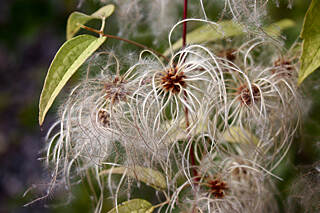 Musketawa Trail Old Man's Beard (Clematis vitalba) Traveller's Joy; South of Ravenna