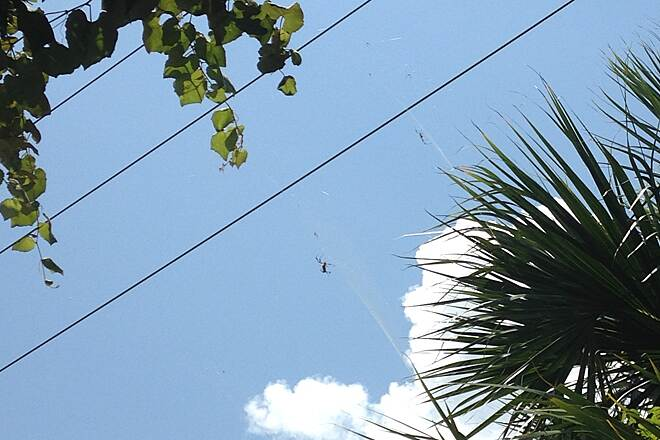 Nature Coast State Trail Big Spiders Riding between Old Town and Cross City. I stopped in the shade to drink some water. I spotted these large spiders in the trees. They were about 7 feet off the ground.