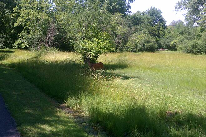 North Branch Trail Deer Grazing  Deer frequently can be seen grazing as the bikers, joggers and walkers zoom by.