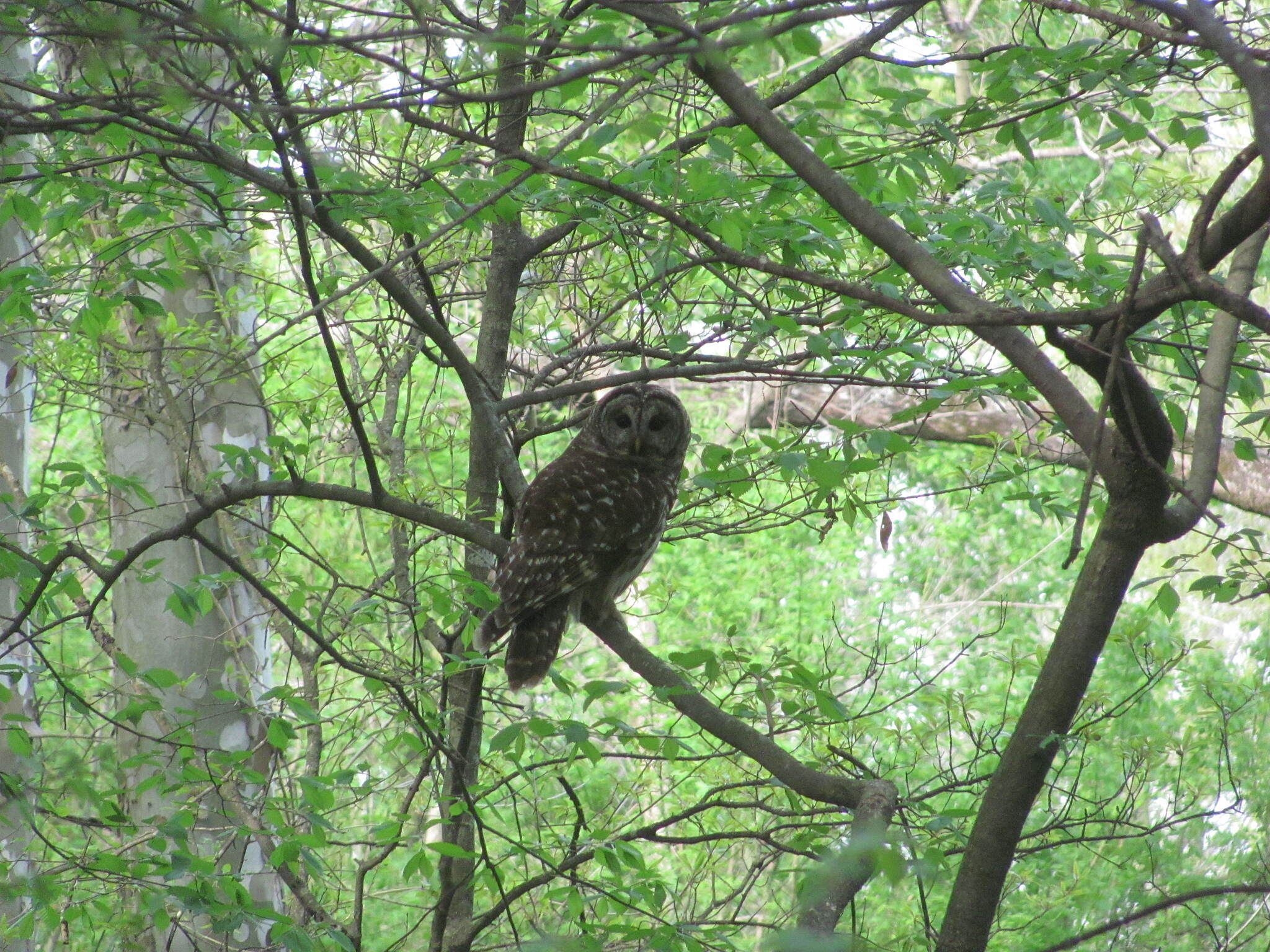 North Oconee River Greenway Bard Owl Seen from the Trail
