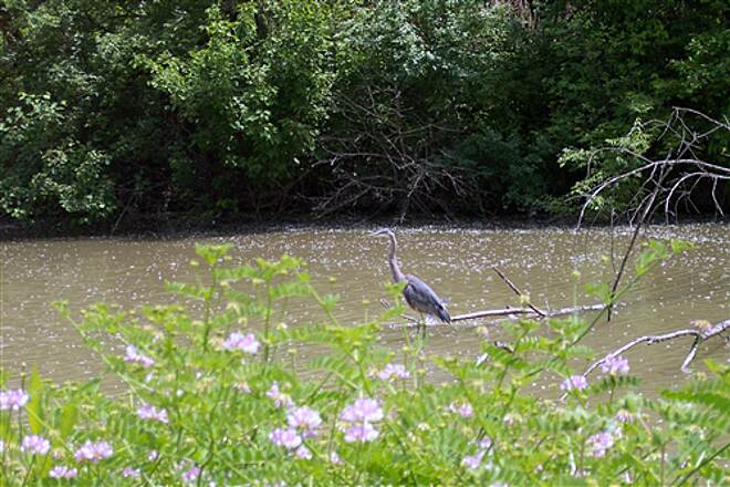 Ohio & Erie Canal Towpath Trail A Blue Heron Greeting Bikers On the Ohio & Erie Canal A Blue Heron Greeting Bikers On The Ohio & Erie Canal