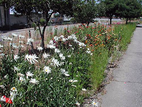Ohlone Greenway Wildflowers Along Ohlone Trail From April to June, the northern terminus of the trail is a circus of colors