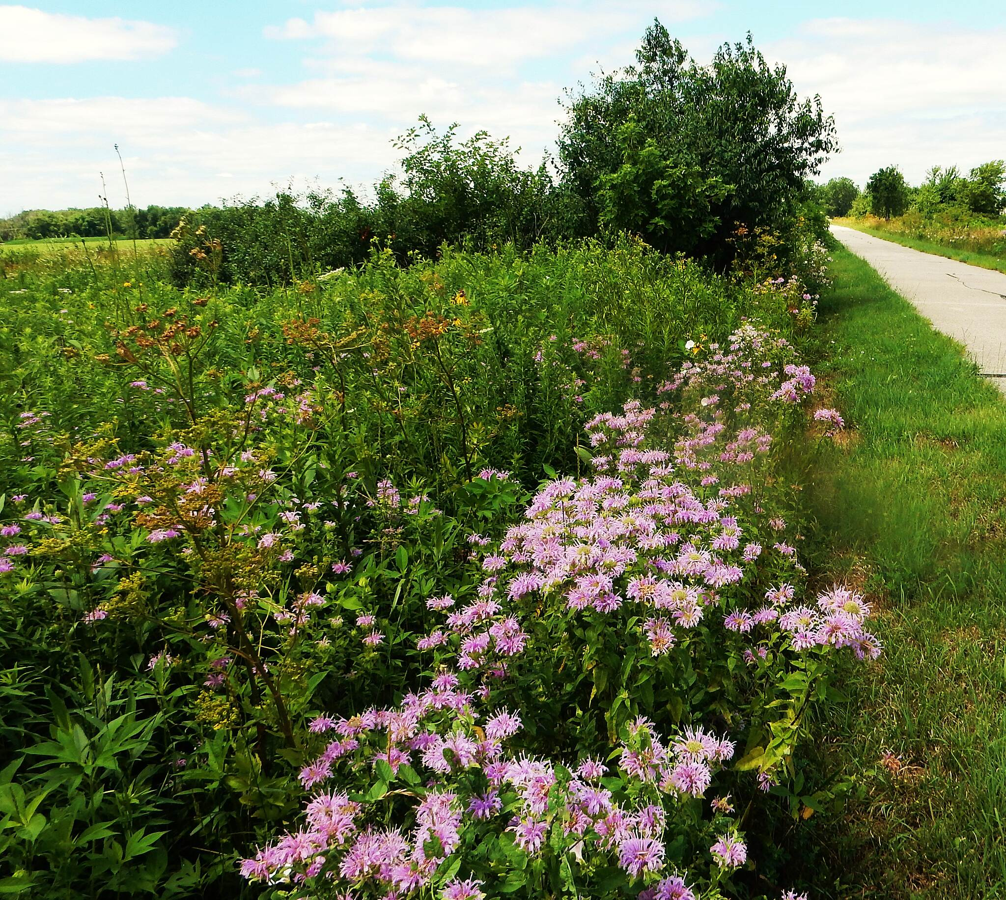 Old Plank Road Trail Flora along the Old Plank There are some nice open stretches of this trail east of Harlem Ave. Taken 7-14-17.