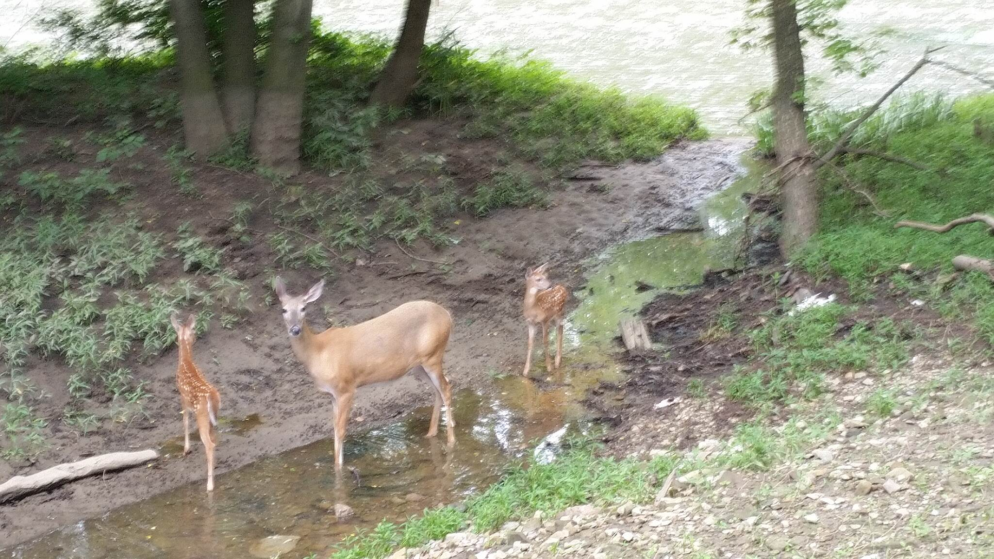 Olentangy Trail Olentangy Trail deer