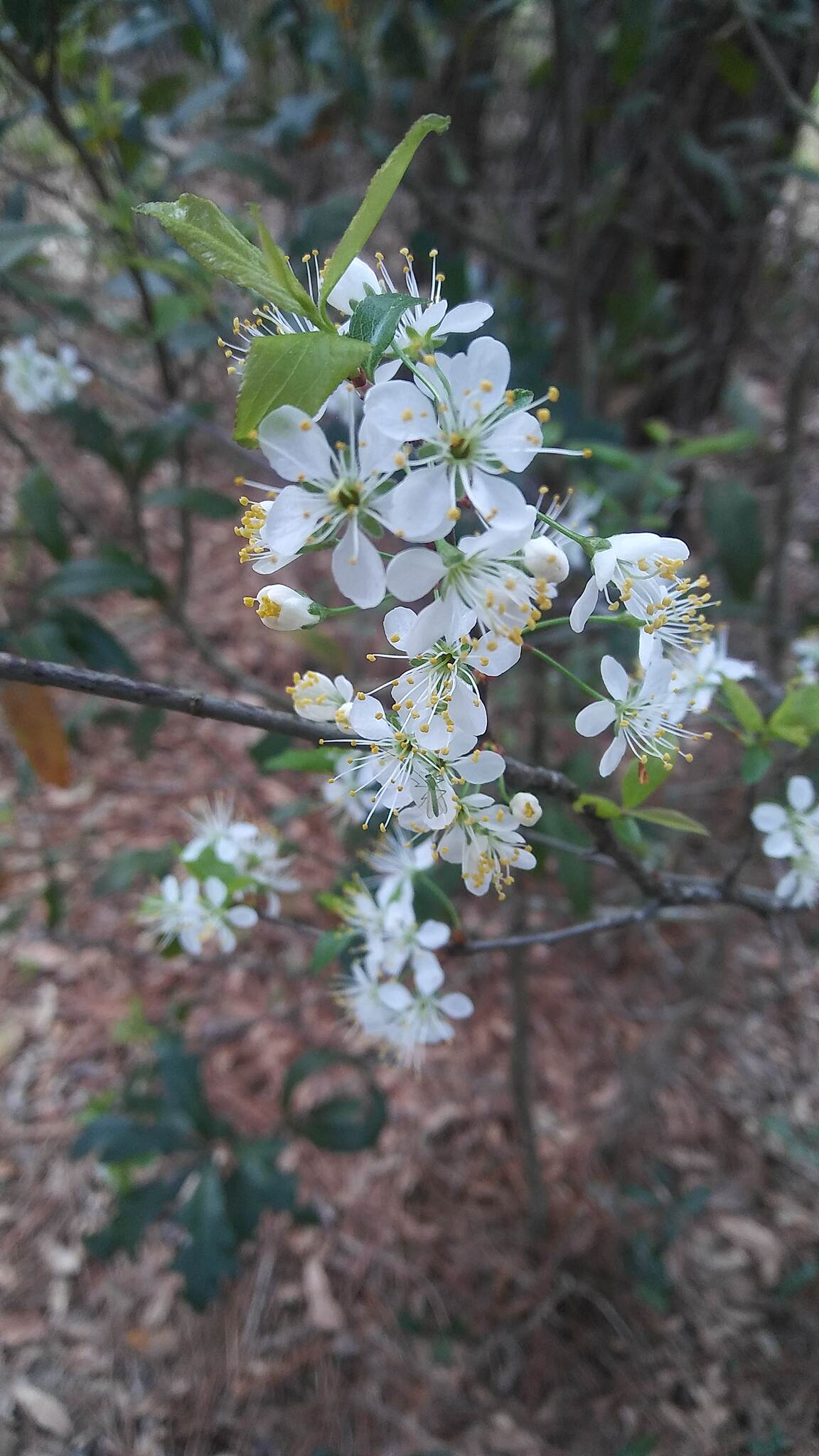Palatka-Lake Butler State Trail Flowers in Spring Saw these all up and down the trail. Baby's Breath, I believe. Spring is near.