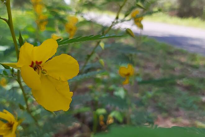 Palatka-to-Lake Butler State Trail Yellow Blossoms On the trail for the first time since my wife passed 2 yrs ago. Trying to see the world as she did.