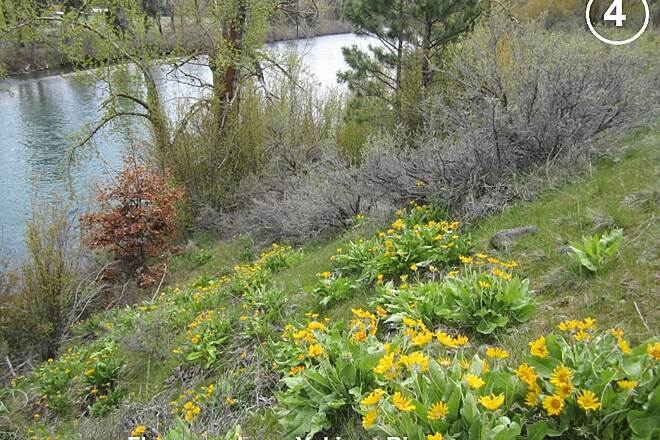 Palouse to Cascades State Park Trail Arrowleaf Balsamroot Arrowleaf Balsamroot blooming along Yakima River. Photo #4: EckartS