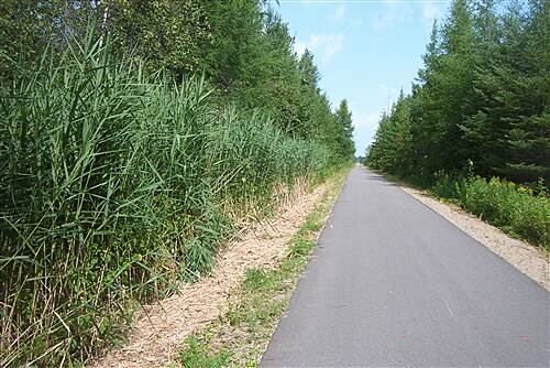 Paul Bunyan State Trail   Amazing tall grass & pines line the trail near Bemidji.