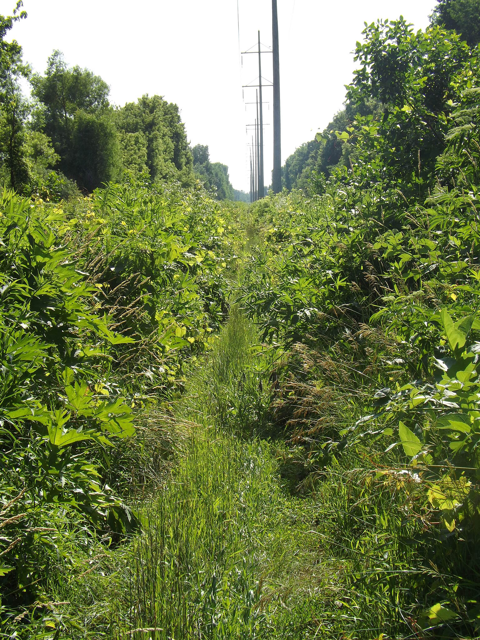 Pecatonica Prairie Trail Overgrown! The path narrows as it become choked with vegetation.