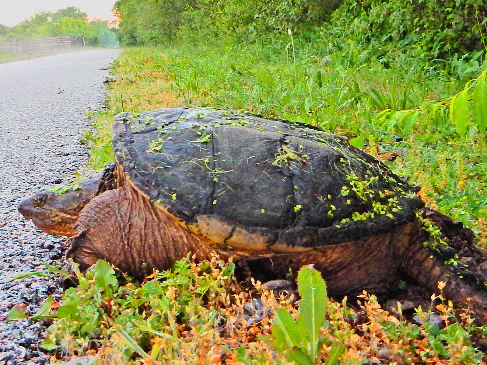 Pennsy Greenway Just north of Centennial Park.  I hope he made it across the trail, but I was not about to help this prehistoric monster(Common Snapping Turtle).