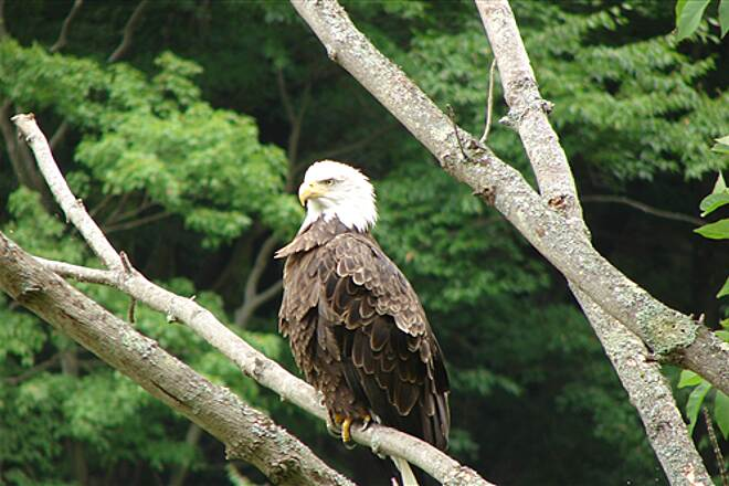 Pine Creek Rail Trail Bald Eagle  (Taken approx. 1 mi north of Blackwell  22 Aug 2007)
