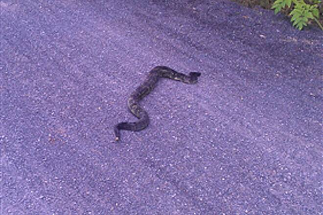 Pine Creek Rail Trail timber rattle snake Great ride, saw this beautiful rattler south of cedar point