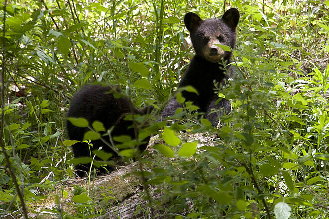 Pine Creek Rail Trail Black Bear cubs