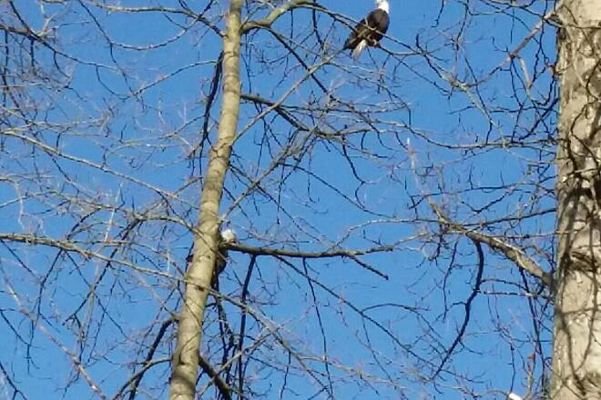 Puyallup Riverwalk Trail Eagles in Winter Beautiful January day 2015