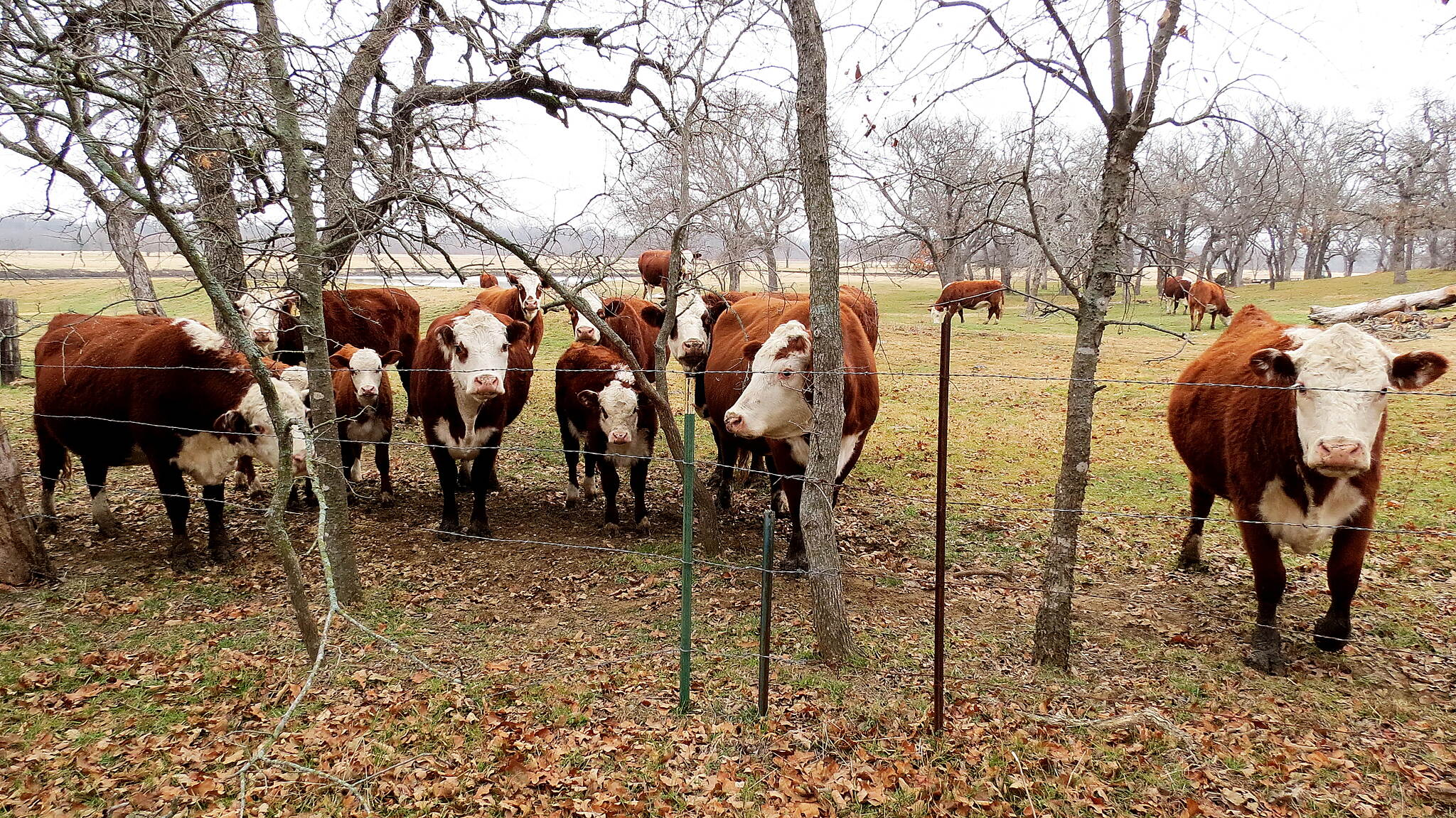 Ray Roberts Greenbelt Cows are Curious in the Winter