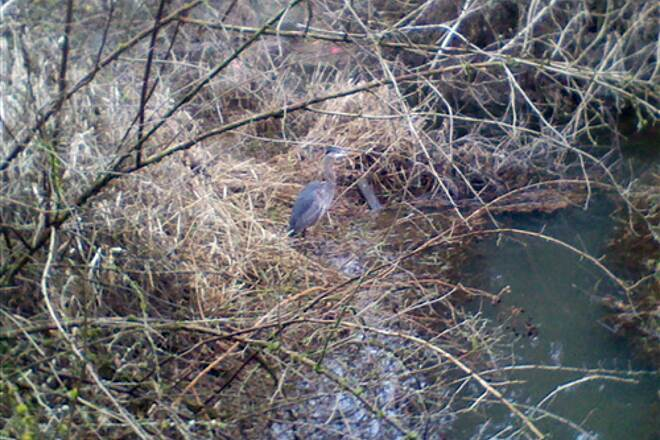 Rock Creek Trail (OR) Blue Heron Rock Creek Trail The wildlife is amazing, this Blue Heron likes to post up at the trail end.