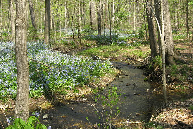 Rock Hollow Trail the trail in spring In late March or early April, the lower end of the trail is flooded with wild bluebells. Photo courtesy of City of Wildwood Parks and Recreation Department.