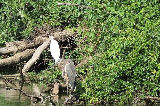 Saddle River Area Bike Path - Bergen County Great Egret & Great Blue Heron