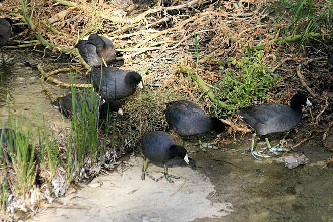 Salt Creek Trail (CA) Coots on Sulphur Creek