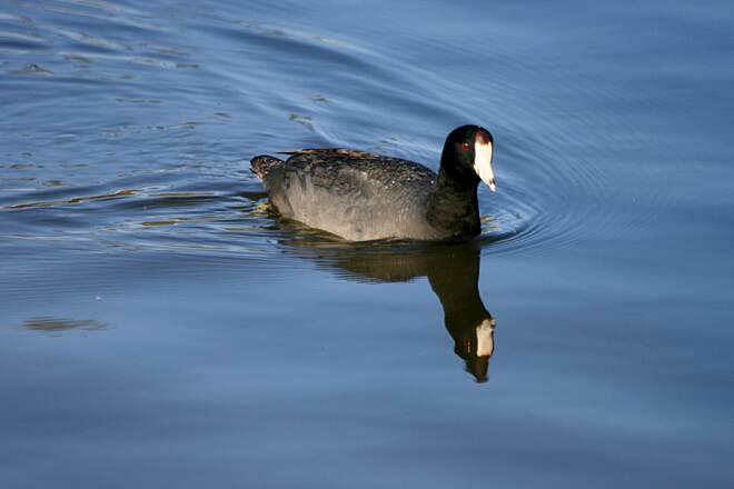 Salt Creek Trail (CA) Coot on Laguna Niguel Lake