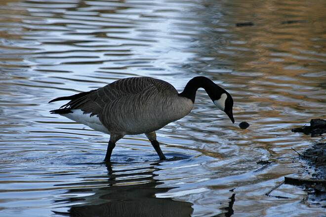 Salt Creek Trail (CA) Canada goose on Laguna Niguel Lake