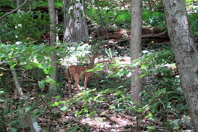 Sandy Creek Trail Fawn along the trail-August 2018 Saw a fawn along the trail between Belmar and Fishermans Cove.  August, 2018.