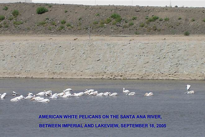 Santa Ana River Trail White Pelicans on the Santa Ana River