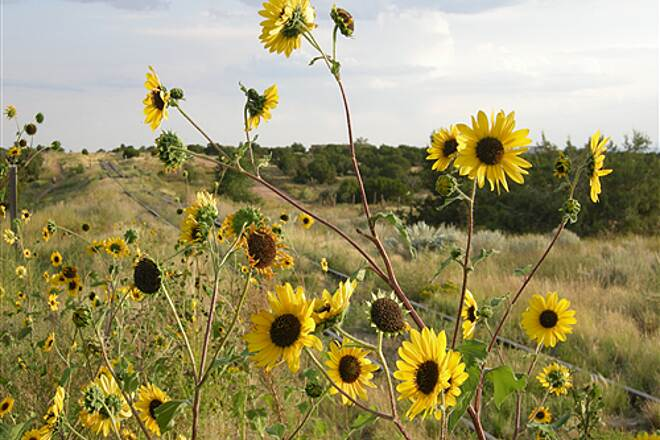 Santa Fe Rail-Trail Santa Fe Rail Trail Wild sunflowers
