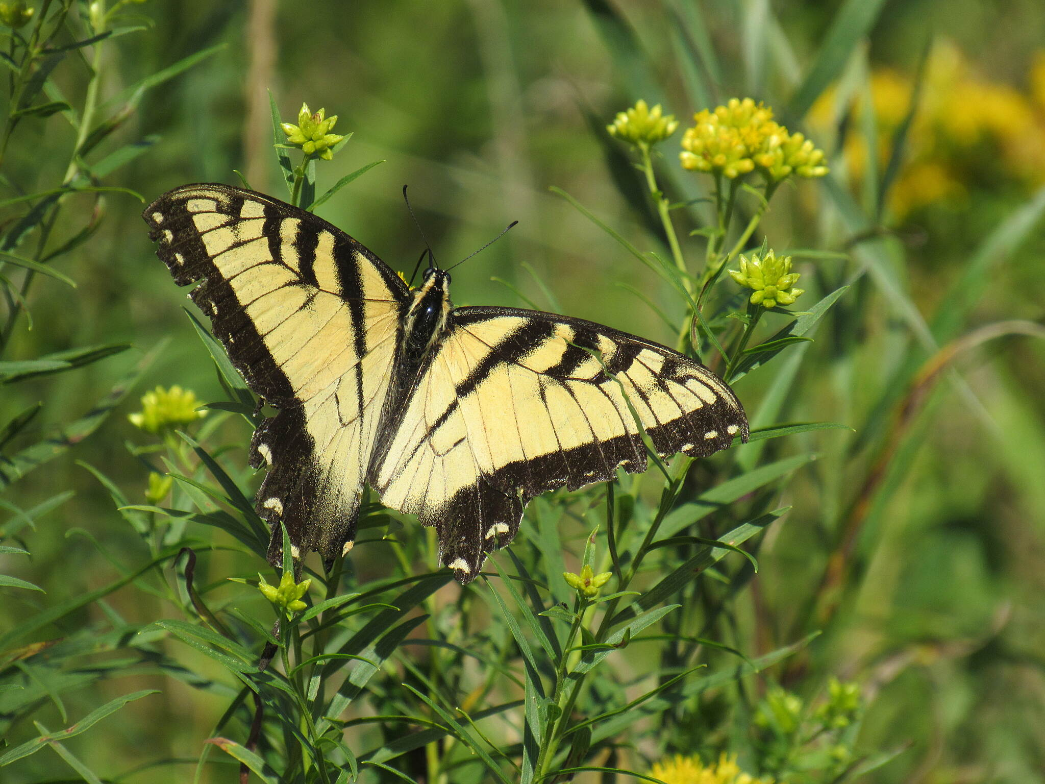 Sheboygan Interurban Trail Tiger swallowtail on mustard These beauties were flitting around everywhere on this sunny September afternoon.