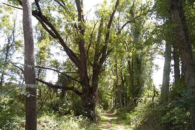 Springlawn Trail Springlawn Trail This huge tree is near the southeast end of the trail.