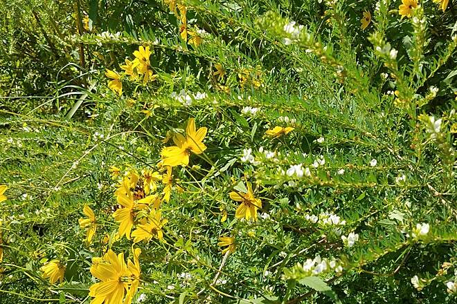 Suffolk Seaboard Coastline Trail Yellow Flowers   Flowers along the trail.