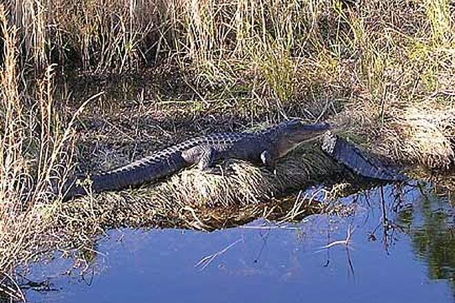 Suncoast Trail Aligators Lounging near the trail. A Florida Trail experience!