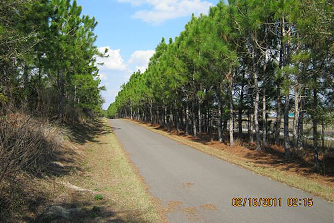 Suncoast Trail   Stand of pines on northern end